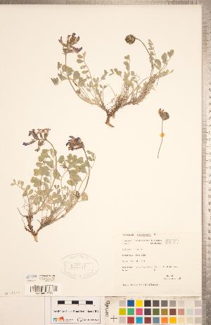(Astragalus missouriensis - CCDB-20330-F01)  @11 [ ] Copyright (2015) Deb Metsger Royal Ontario Museum