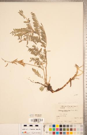 (Astragalus bisulcatus - CCDB-20330-E01)  @11 [ ] Copyright (2015) Deb Metsger Royal Ontario Museum