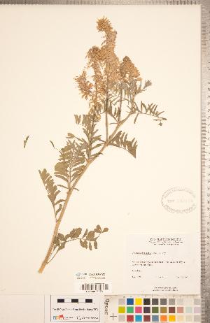 (Astragalus bisulcatus - CCDB-20330-C01)  @11 [ ] Copyright (2015) Deb Metsger Royal Ontario Museum