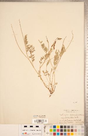 (Astragalus robbinsii - CCDB-20330-H02)  @11 [ ] Copyright (2015) Deb Metsger Royal Ontario Museum