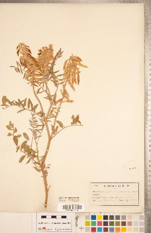 (Astragalus racemosus - CCDB-20330-G02)  @11 [ ] Copyright (2015) Deb Metsger Royal Ontario Museum