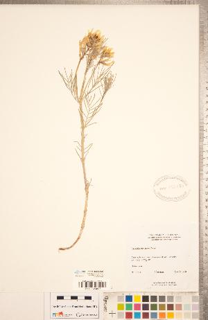 (Astragalus pectinatus - CCDB-20330-D02)  @11 [ ] Copyright (2015) Deb Metsger Royal Ontario Museum