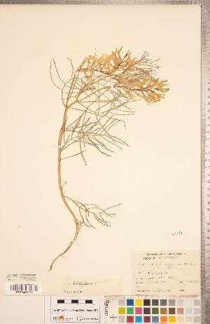(Astragalus pectinatus - CCDB-20330-C02)  @11 [ ] Copyright (2015) Deb Metsger Royal Ontario Museum