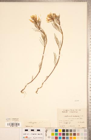 (Astragalus pectinatus - CCDB-20330-B02)  @11 [ ] Copyright (2015) Deb Metsger Royal Ontario Museum