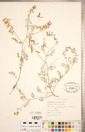 (Astragalus flexuosus - CCDB-20330-H03)  @11 [ ] Copyright (2015) Deb Metsger Royal Ontario Museum