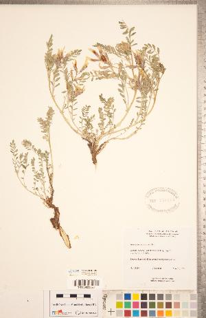 (Astragalus crassicarpus - CCDB-20330-E03)  @11 [ ] Copyright (2015) Deb Metsger Royal Ontario Museum