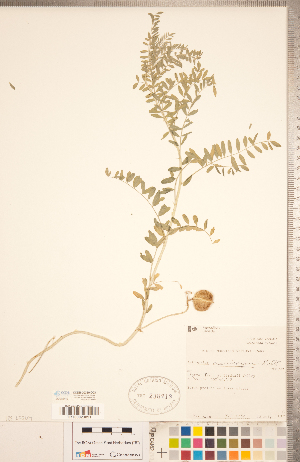 (Astragalus crassicarpus - CCDB-20330-D03)  @11 [ ] Copyright (2015) Deb Metsger Royal Ontario Museum