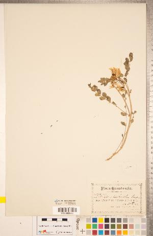 (Astragalus beckwithii - CCDB-20330-C03)  @11 [ ] Copyright (2015) Deb Metsger Royal Ontario Museum