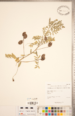 (Astragalus neglectus - CCDB-20330-B03)  @11 [ ] Copyright (2015) Deb Metsger Royal Ontario Museum