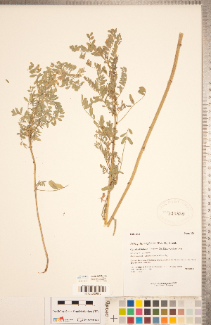 (Astragalus neglectus - CCDB-20330-H04)  @11 [ ] Copyright (2015) Deb Metsger Royal Ontario Museum