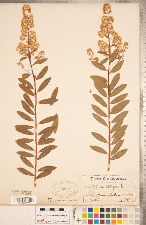 (Spiraea salicifolia - CCDB-20330-H05)  @11 [ ] Copyright (2015) Deb Metsger Royal Ontario Museum