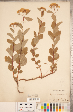 (Spiraea corymbosa - CCDB-20330-F05)  @11 [ ] Copyright (2015) Deb Metsger Royal Ontario Museum