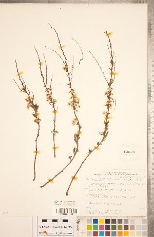 (Spiraea thunbergii - CCDB-20330-E05)  @11 [ ] Copyright (2015) Deb Metsger Royal Ontario Museum