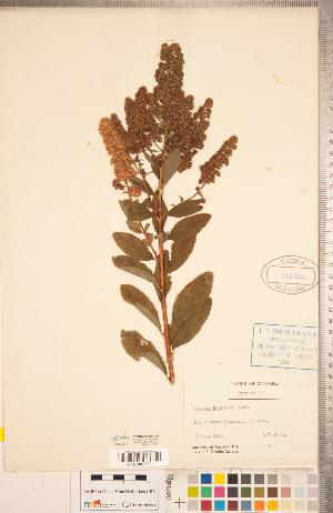(Spiraea douglasii - CCDB-20330-H06)  @11 [ ] Copyright (2015) Deb Metsger Royal Ontario Museum