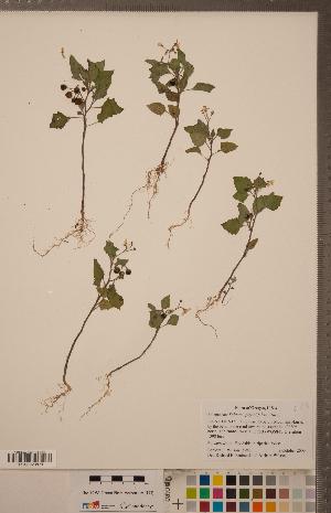 (Solanum physalifolium - CCDB-20338-E01)  @11 [ ] Copyright (2015) Deb Metsger Royal Ontario Museum