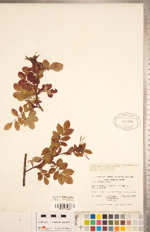 (Rosa nutkana - CCDB-20330-H08)  @11 [ ] Copyright (2015) Deb Metsger Royal Ontario Museum