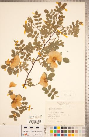 (Rosa spinosissima - CCDB-20330-C08)  @11 [ ] Copyright (2015) Deb Metsger Royal Ontario Museum