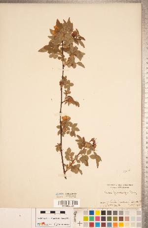 (Rosa pisocarpa - CCDB-20330-H09)  @11 [ ] Copyright (2015) Deb Metsger Royal Ontario Museum