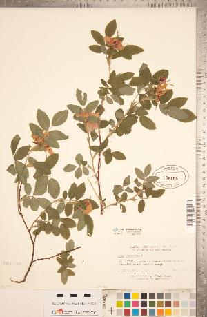 (Rosa cinnamomea - CCDB-20330-G09)  @11 [ ] Copyright (2015) Deb Metsger Royal Ontario Museum