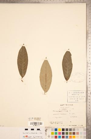 (Prunus laurocerasus - CCDB-20330-B09)  @11 [ ] Copyright (2015) Deb Metsger Royal Ontario Museum