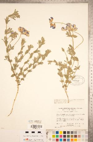 (Lathyrus littoralis - CCDB-20330-E11)  @11 [ ] Copyright (2015) Deb Metsger Royal Ontario Museum