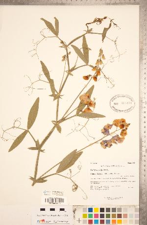 (Lathyrus latifolius - CCDB-20330-D11)  @11 [ ] Copyright (2015) Deb Metsger Royal Ontario Museum
