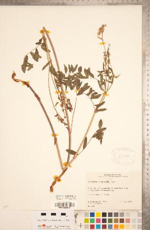 (Hedysarum sulphurescens - CCDB-20330-H12)  @11 [ ] Copyright (2015) Deb Metsger Royal Ontario Museum