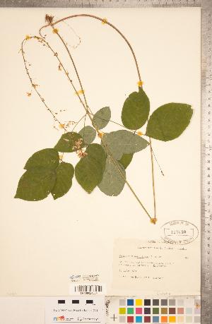 (Hylodesmum - CCDB-20331-A01)  @11 [ ] Copyright (2015) Deb Metsger Royal Ontario Museum