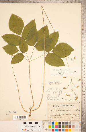 (Hylodesmum - CCDB-20331-H02)  @11 [ ] Copyright (2015) Deb Metsger Royal Ontario Museum