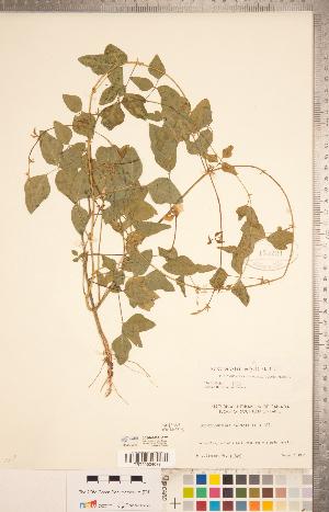 (Strophostyles helvola - CCDB-20331-E07)  @11 [ ] Copyright (2015) Deb Metsger Royal Ontario Museum