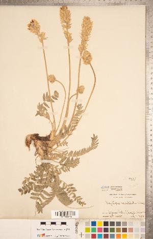 (Oxytropis monticola - CCDB-20331-E08)  @11 [ ] Copyright (2015) Deb Metsger Royal Ontario Museum