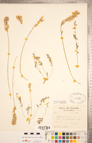 (Oxytropis monticola - CCDB-20331-C08)  @11 [ ] Copyright (2015) Deb Metsger Royal Ontario Museum