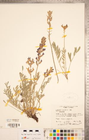 (Oxytropis lambertii var. lambertii - CCDB-20331-A08)  @11 [ ] Copyright (2015) Deb Metsger Royal Ontario Museum