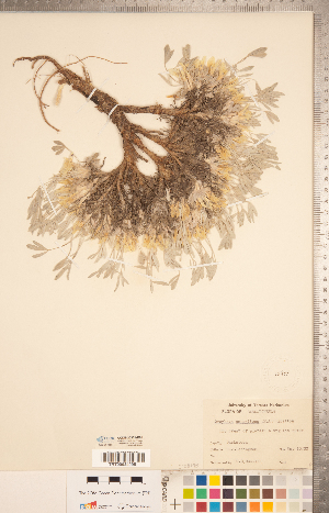 (Astragalus gilviflorus var. gilviflorus - CCDB-20331-D09)  @11 [ ] Copyright (2015) Deb Metsger Royal Ontario Museum