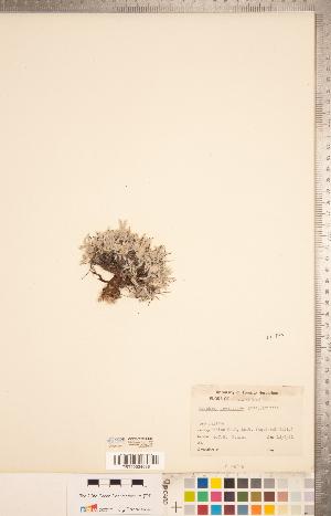 (Astragalus gilviflorus var. gilviflorus - CCDB-20331-C09)  @11 [ ] Copyright (2015) Deb Metsger Royal Ontario Museum