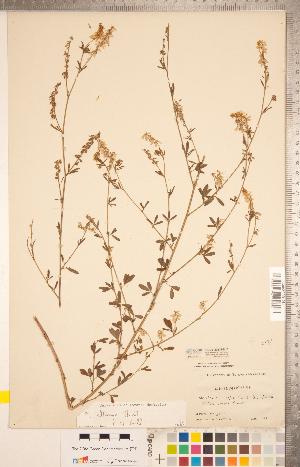 (Melilotus - CCDB-20331-H10)  @11 [ ] Copyright (2015) Deb Metsger Royal Ontario Museum