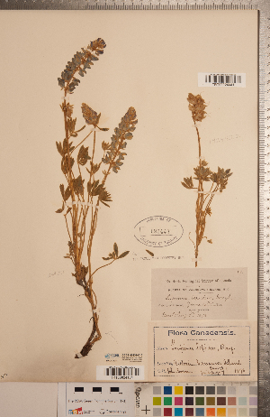 (Lupinus lepidus - CCDB-20331-C10)  @11 [ ] Copyright (2015) Deb Metsger Royal Ontario Museum
