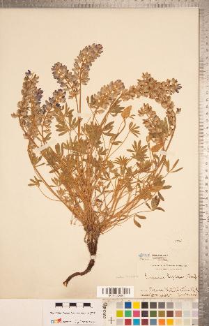 (Lupinus lepidus - CCDB-20331-B10)  @11 [ ] Copyright (2015) Deb Metsger Royal Ontario Museum