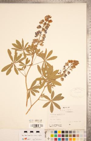 (Lupinus latifolius - CCDB-20331-A10)  @11 [ ] Copyright (2015) Deb Metsger Royal Ontario Museum