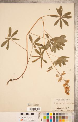 (Lupinus nootkatensis - CCDB-20331-H11)  @11 [ ] Copyright (2015) Deb Metsger Royal Ontario Museum