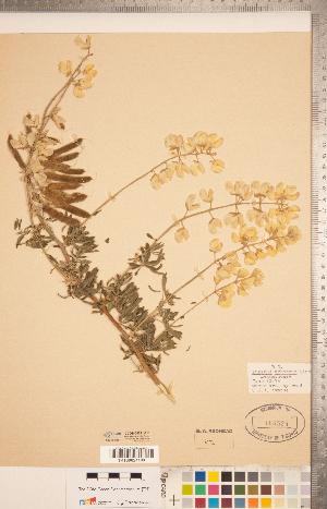 (Lupinus arboreus - CCDB-20331-F11)  @11 [ ] Copyright (2015) Deb Metsger Royal Ontario Museum