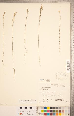 (Linoideae - CCDB-20332-E01)  @11 [ ] Copyright (2015) Deb Metsger Royal Ontario Museum