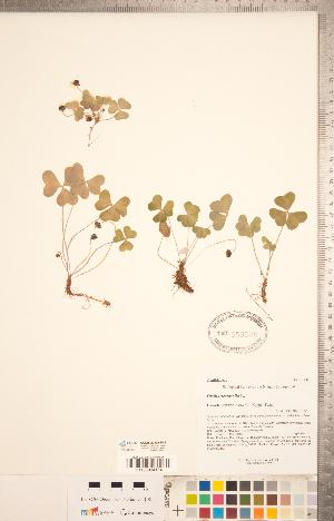 (Oxalis montana - CCDB-20332-D02)  @11 [ ] Copyright (2015) Deb Metsger Royal Ontario Museum