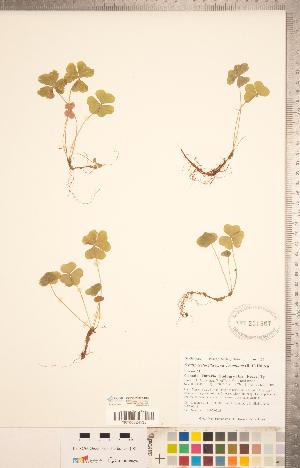 (Oxalis montana - CCDB-20332-C02)  @11 [ ] Copyright (2015) Deb Metsger Royal Ontario Museum