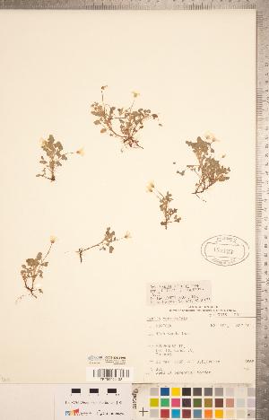 (Oxalis dillenii - CCDB-20332-H03)  @11 [ ] Copyright (2015) Deb Metsger Royal Ontario Museum