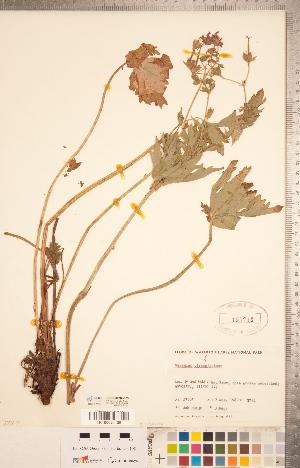 (Geranium viscosissimum - CCDB-20332-G03)  @11 [ ] Copyright (2015) Deb Metsger Royal Ontario Museum