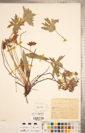 (Geranium viscosissimum - CCDB-20332-F03)  @11 [ ] Copyright (2015) Deb Metsger Royal Ontario Museum