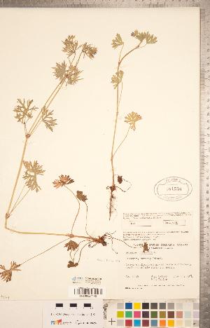 (Geranium dissectum - CCDB-20332-D03)  @11 [ ] Copyright (2015) Deb Metsger Royal Ontario Museum