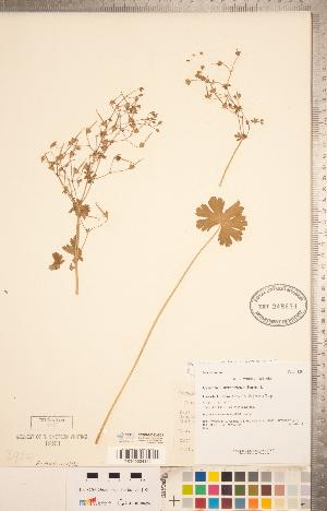 (Geranium pyrenaicum - CCDB-20332-B03)  @11 [ ] Copyright (2015) Deb Metsger Royal Ontario Museum