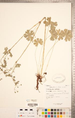 (Geranium pyrenaicum - CCDB-20332-A03)  @11 [ ] Copyright (2015) Deb Metsger Royal Ontario Museum